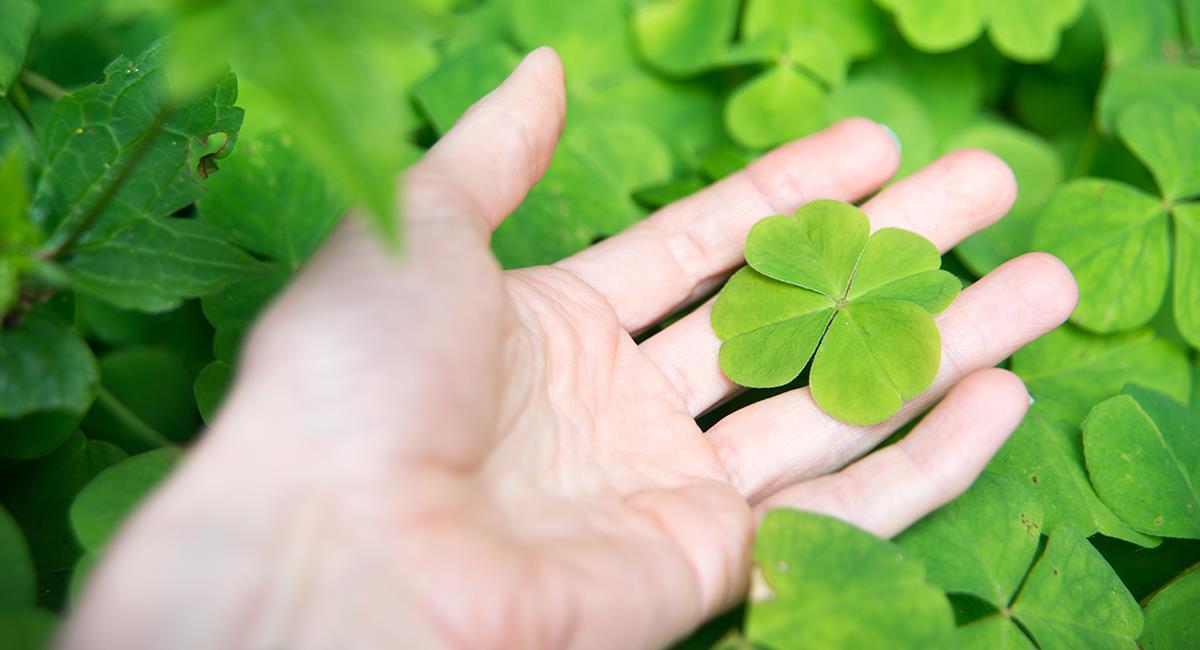 Pour 10 000 trèfles à trois feuilles, il y en a un à quatre. Photo: Shutterstock