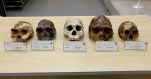 Répliques de cinq crânes anciens appartenant aux espèces Homo habilis, Homo erectus et Homo floresiensis