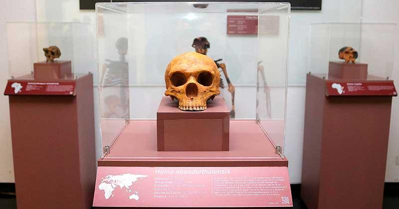 Réplique du crâne d'Homo neanderthalensis sur l'affichage à l'occupation Hominin, dans le hall de l'IEA