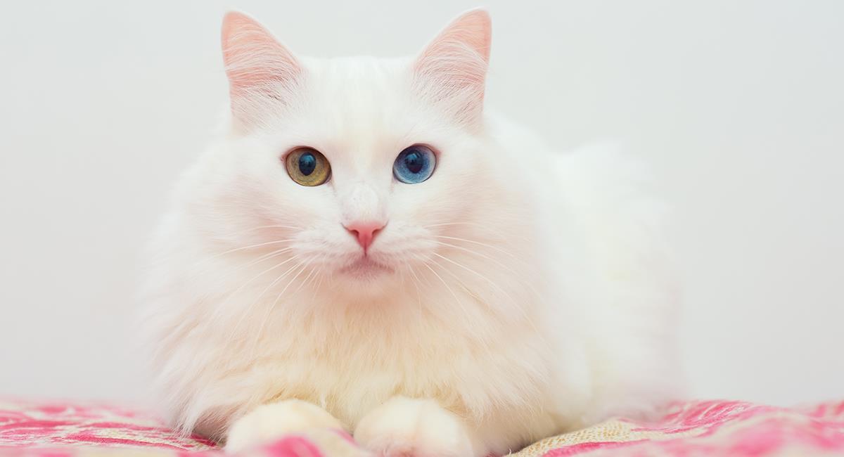 Le chat angora a une grande connexion avec les enfants.  Photo: Shutterstock