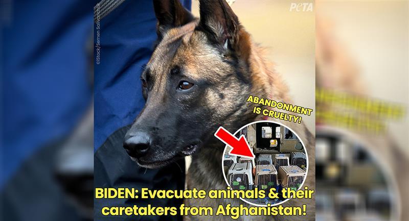 PETA a affirmé qu'il s'agissait de chiens abandonnés par l'armée américaine.  Photo : Twitter @peta